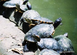 Cuban Turtles